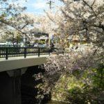 岩倉桜祭りの時間・期間・ライトアップ情報を紹介2019!