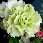 カーネーションの花言葉!緑・青・ピンクなど色別の一覧を調査2019!